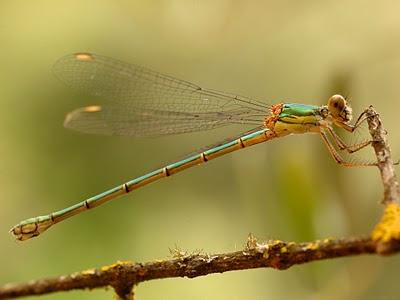 Inventario de libélulas en el entorno del arroyo Pedroche