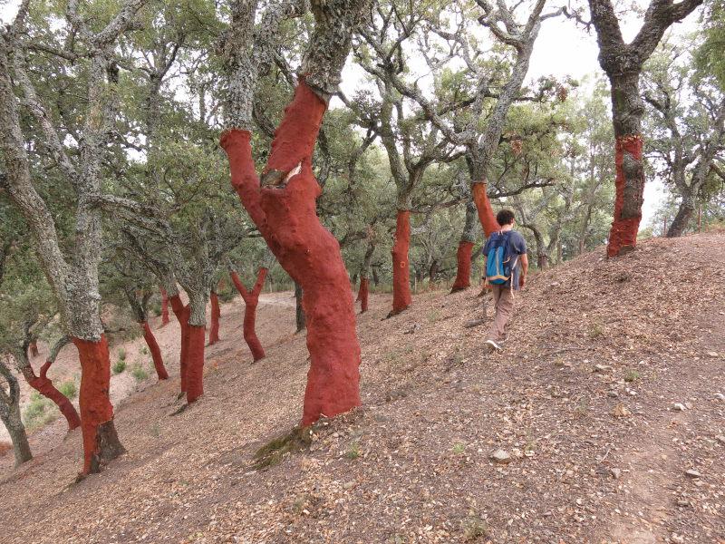 Alcornoques descorchados en el Valle del Genal.