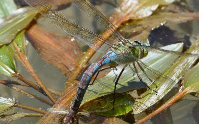 Nombres vernáculos (= comunes) de las libélulas en castellano