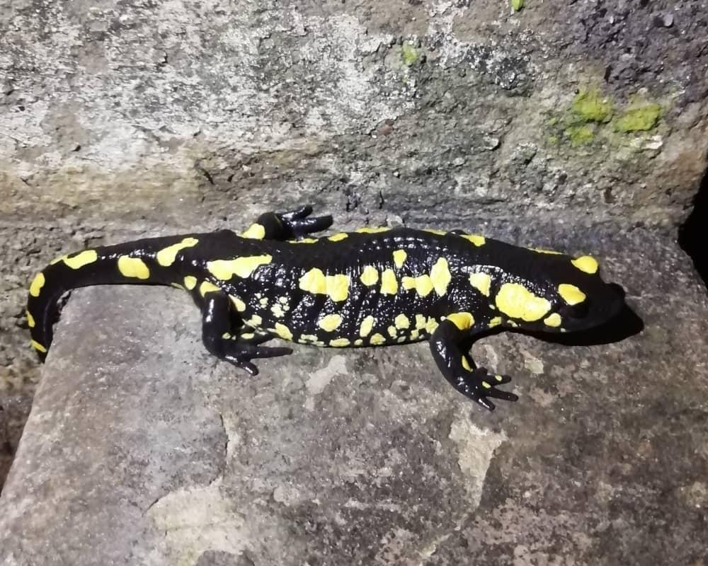 Betic salamander (Salamandra s. longirostris).