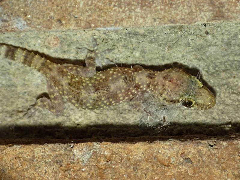 Juvenil de salamanquesa rosada (Hemidactylus turcicus (Linnaeus, 1758))