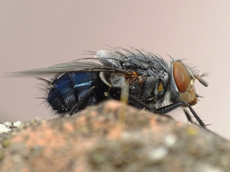 Moscarda azul (Calliphora vicina Robineau-Desvoidy, 1830)