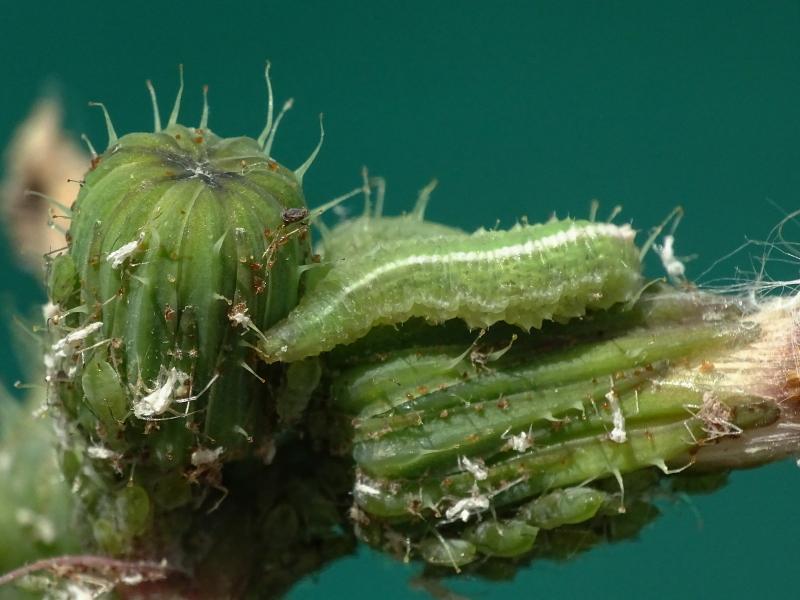 Larvas de distintas especies de sírfidos alimentándose de pulgones.