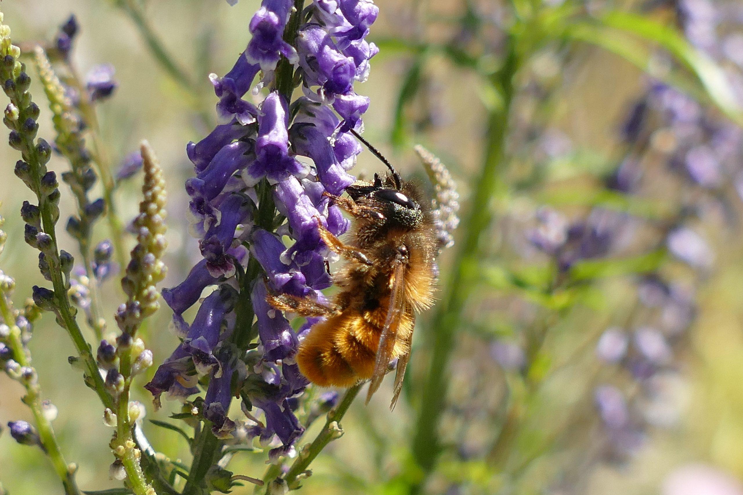 Hymenoptera indet. sobre acicate de olor (Anarrhinum bellidifolium).